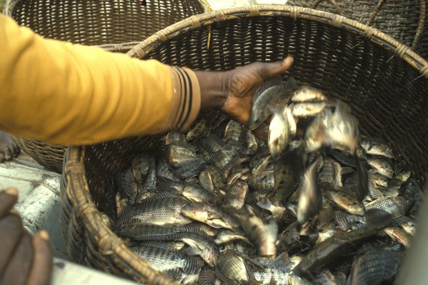 Study finds microalgae, biomass blend beneficial for tilapia